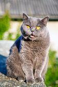 British Cat Meow