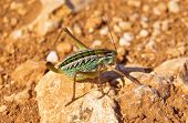 Grasshopper Orthopterous Tettigoniidae