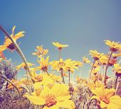 a bunch of pretty balsamroot flowers done with a soft vintage instagram like effect filter