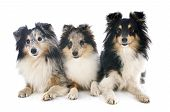 stock photo of sheep-dog  - purebred shetland sheep dogs in front of white background - JPG