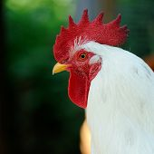 White Rooster (Cockerel) In Profile