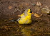 picture of goldfinches  - A molting American Goldfinch bathes in the clear water of a small midwestern creek - JPG