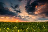 colorful sunset in yellow rapeseed field
