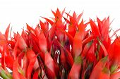 stock photo of bromeliad  - Bromeliad isolated on white background  - JPG