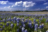 Bluebonnet Splendor