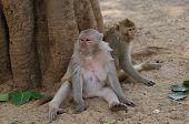 Rhesus macaque monkeys