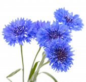 Blue cornflower. Flower bouquet isolated on white.