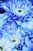 Macro Of Blue Flower Aster