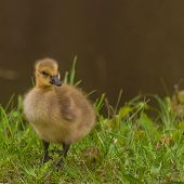 stock photo of baby goose  - Canada Goose Gosling sitting in the grass.