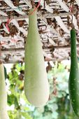 Green Chinese Winter Melon.