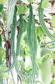 Green Zucchini Hang.