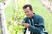 Winegrower in vineyard checking on grapes
