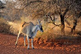 stock photo of eland  - Old Unicorn Eland at the Haak - JPG