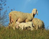 foto of breastfeeding  - mother sheep breastfeeding her little lamb in the midst of the flock - JPG