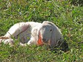 Lamb With The Soft White Wool On The Lawn In The Mountains