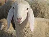 Portrait Of A Lamb In The Midst Of The Great Herd