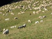 Flock Of White Sheep And Goats Grazing In The Mountains