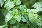 Leaves of Potato
