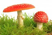 Fly Agaric Mushrooms (Amanita Muscaria)