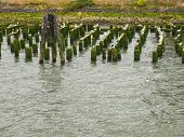 Abandoned Algae Covered Pier Logs With Sea Gulls