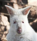 pic of wallabies  - A Close Up Portrait of the Head of an Albino Wallaby Macropus - JPG