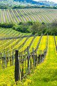 spring vineyards, Southern Moravia, Czech Republic