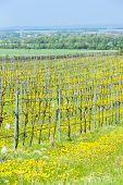 spring vineyard, Southern Moravia, Czech Republic