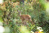 Belarus Roe Deer