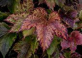 Autumn colours on a parthenocissus