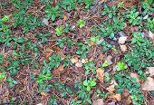 Lingonberry Leaves