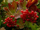 beautiful clusters of red viburnum among autumnal leaves