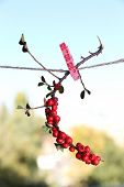 Cotoneaster branch hanging on rope on natural background
