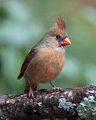 Perching Female Cardinal