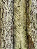 Closeup of pine tree trunk with resing incising