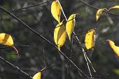 Ash Trees Leaves of Yellow with sunlight casting shadow