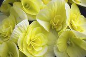 Begonia yellow flowers