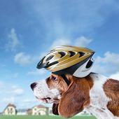 Beagle In  Helmet