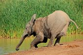 A young African elephant (Loxodonta africana)l drinking water, Addo Elephant National Park, South Africa