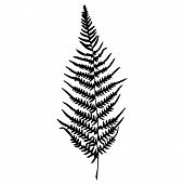 Illustration of Fern silhouette. Isolated on white background