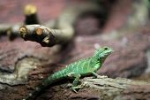 Chinese Water Dragon On A Tree