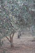 Evergreen Olive Trees With Ripening Fruits