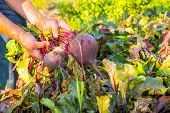 Farmer hands holding a bunch of freshly harvested beetroots