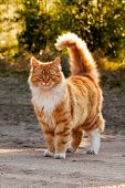 Ginger Furry Cat