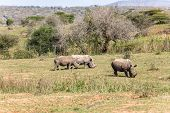 Rhinos Wildlife Animals