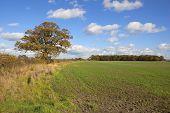 Autumn Oak Tree And Fields