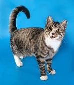 stock photo of yellow tabby  - Tabby cat with yellow eyes standing on blue background - JPG