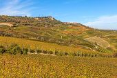 Yellow vineyards on the hills of Langhe in Piedmont, Northern Italy.
