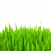 Fresh green wheat grass with drops and bokeh  / isolated on white with copy space