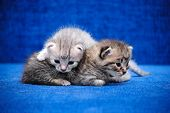 Two Kitten On A Blue Background
