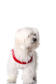 foto of bichon frise dog  - Bichon puppy with red collar isolated on white - JPG